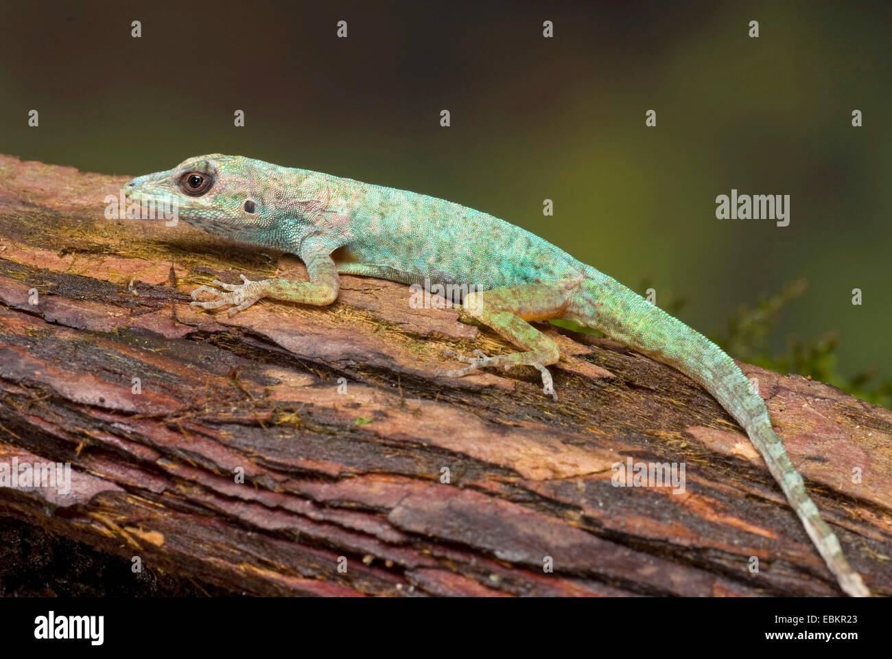 La Martinique, l'anole Anole Savannah (Anolis roquet), sur une branche Photo Stock