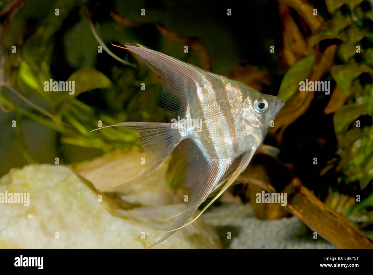 Des anges, du vrai Altum-Angel ; longues nageoires (Angel in altum Pterophyllum), forme sauvage Photo Stock