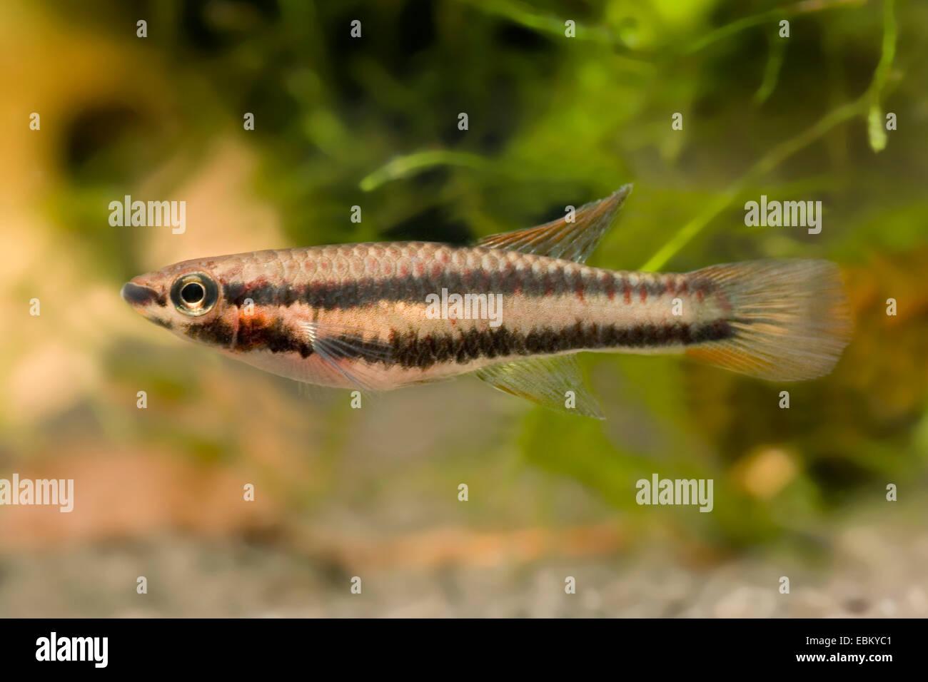 Deux-bagué, Killi Killi à rayures (Aphyosemion bivittatum), natation Photo Stock