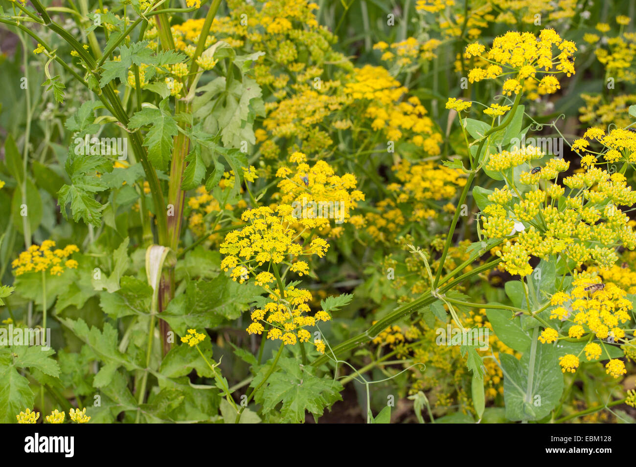 Panais sauvage (Pastinaca sativa) à fleurs jaunes Photo Stock