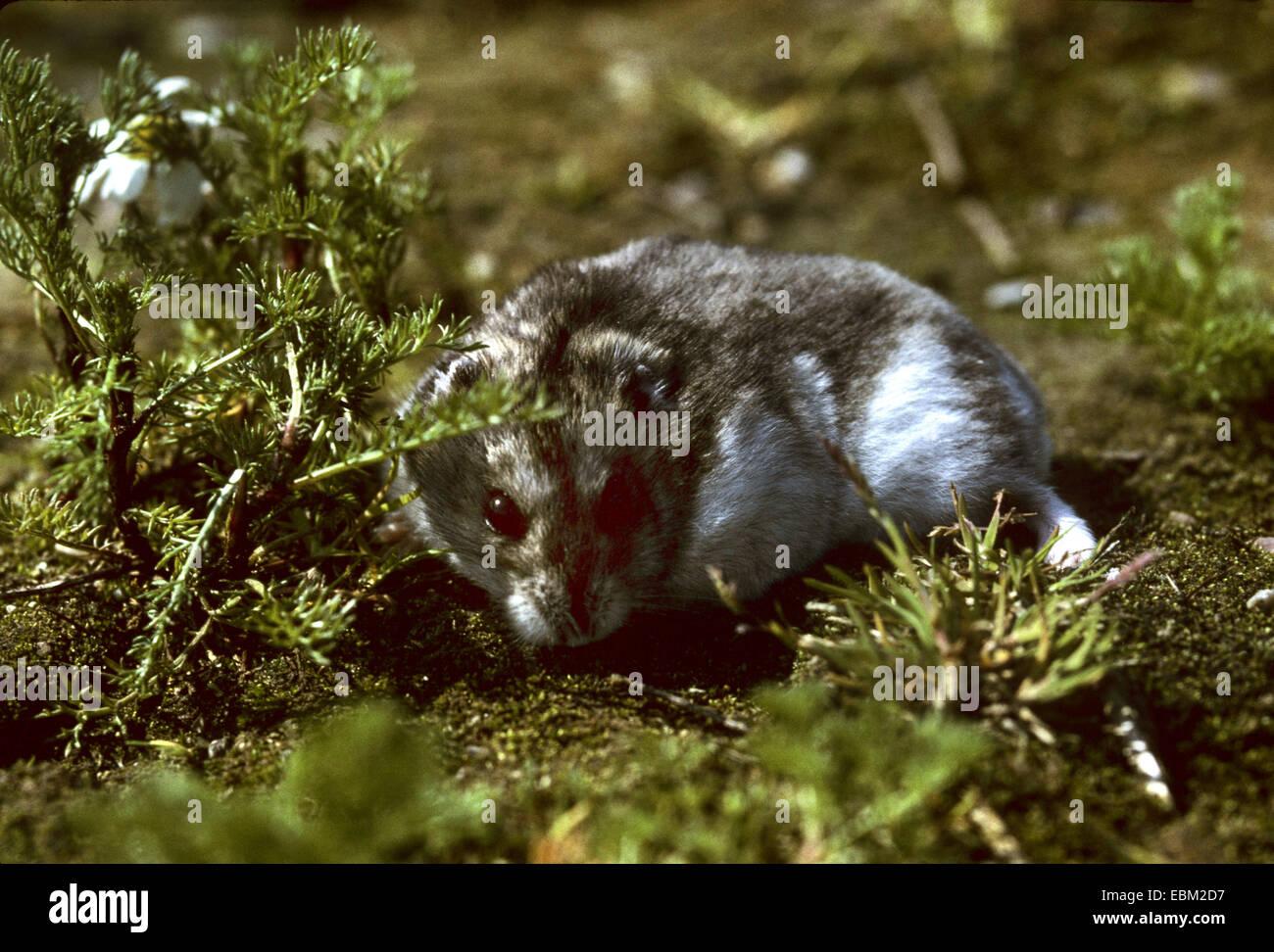 Bar rayé à pattes velues, hamster hamster Dzungarian (Phodopus sungorus), portrait Photo Stock