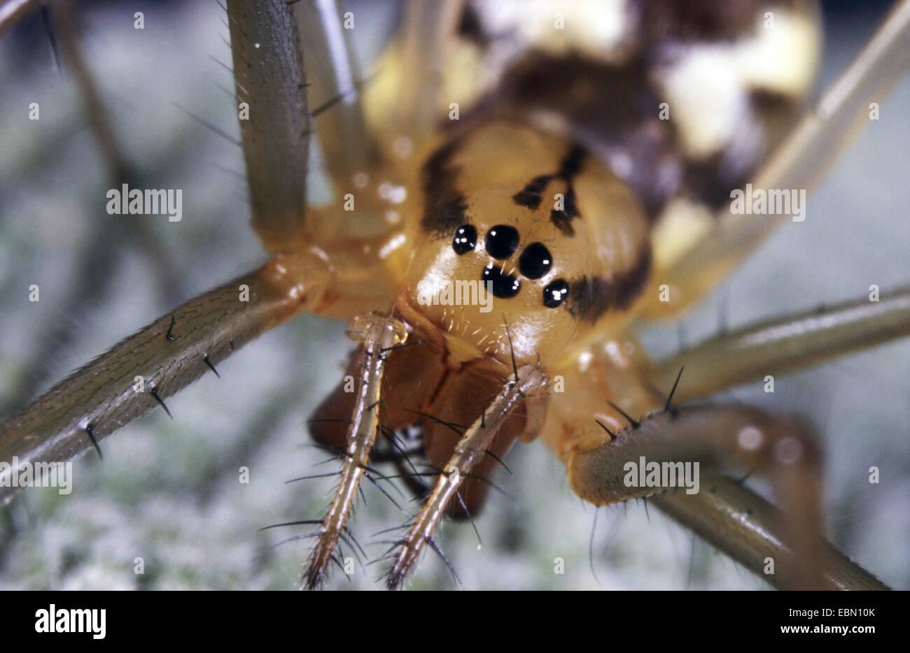 Feuilles-web weaver, tissage de ligne Ligne, araignée Linyphia triangularis (Weaver), Femme, Allemagne Photo Stock