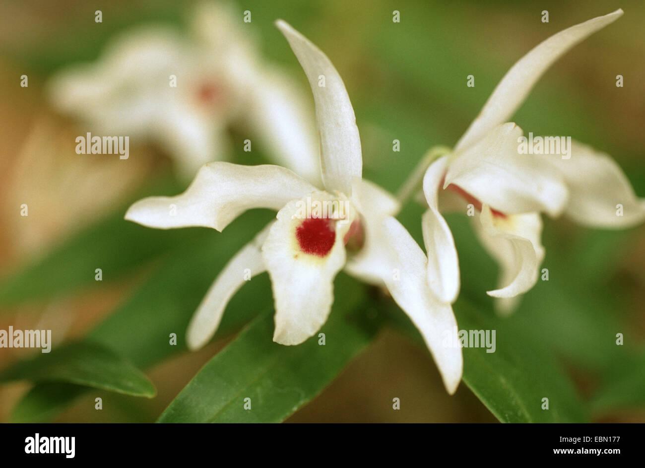 Dendrobium Dendrobium (translucide), fleurs transparens Photo Stock