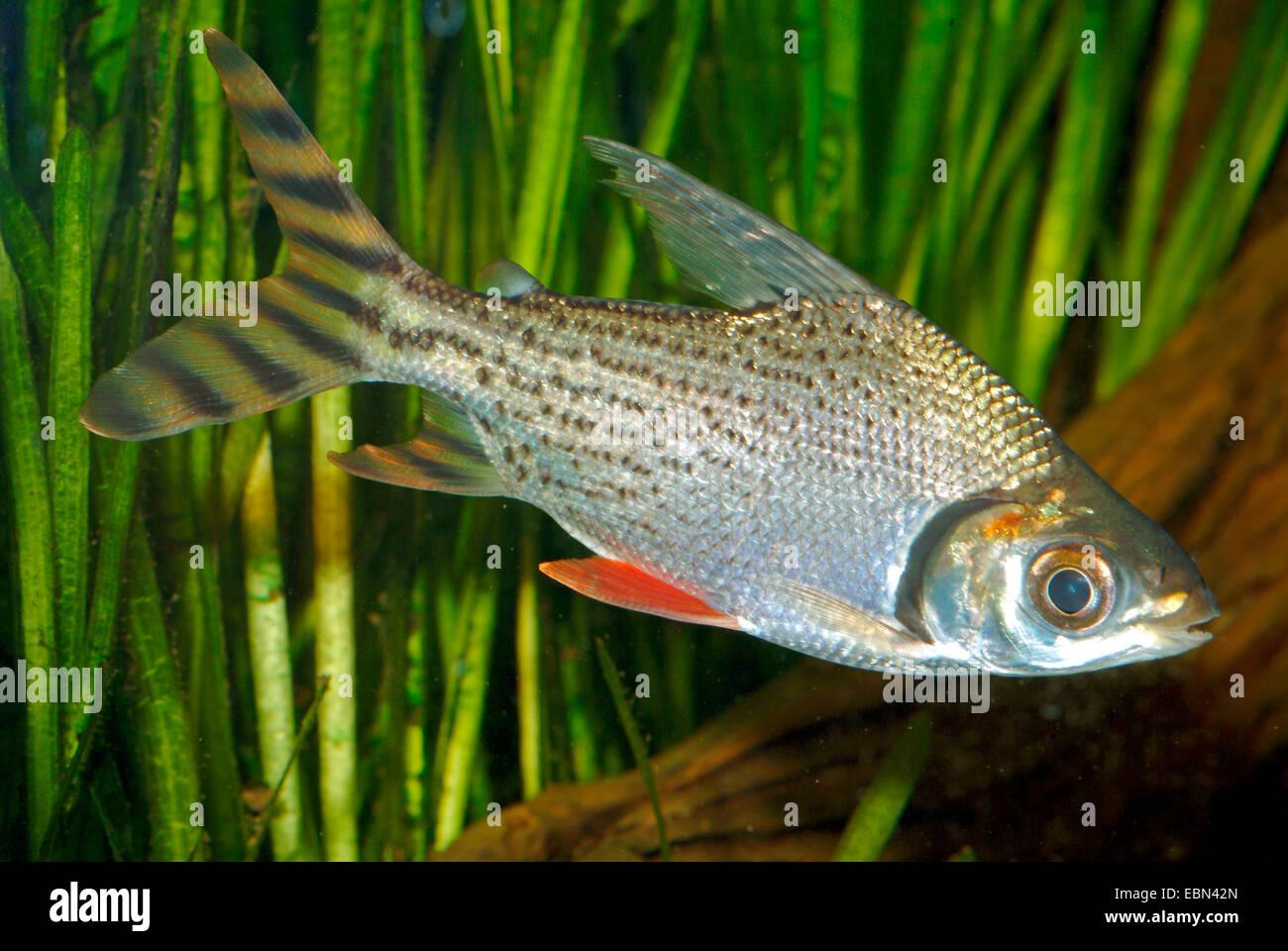 Prochilodus couleur, argent (Prochilodus Semaprochilodus taeniurus), natation Photo Stock