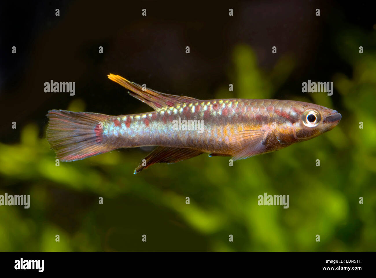 Deux-lignes ou à rayures Killi (Aphyosemion bivittatum), natation Photo Stock