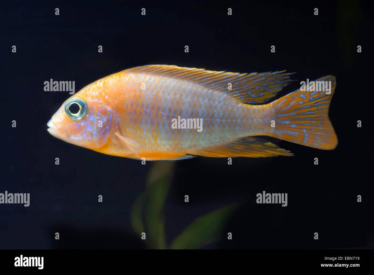 Aulonocara (Aulonocara Rubinrot), sous forme de reproduction Red Rubin Photo Stock