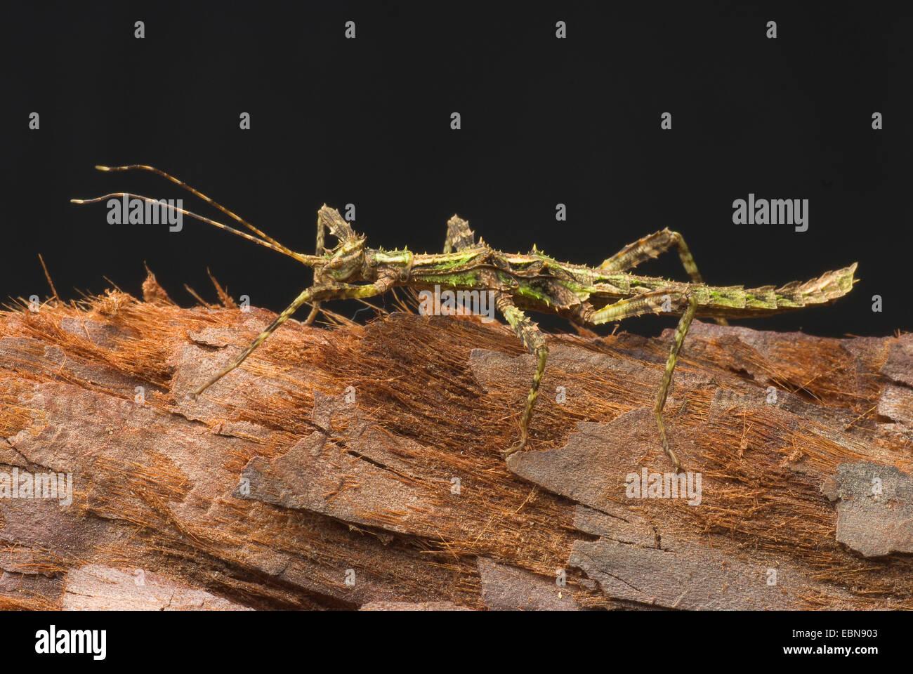 Phasme épineux géant (Trachyaretaon brueckneri carmelae, Trachyaretaon), sur l'écorce Photo Stock