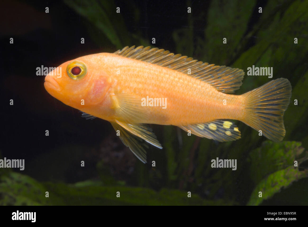 (Metriaclima estherae Red Zebra), sous forme de reproduction rouge-rouge Photo Stock