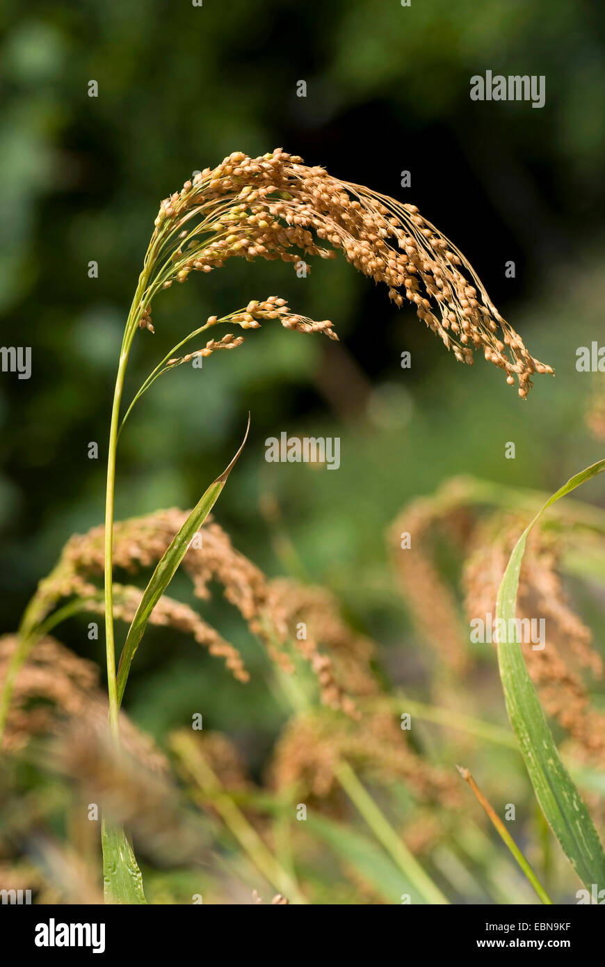 Le millet commun, millet, wild-panic millet (Panicum miliaceum), panicule Photo Stock