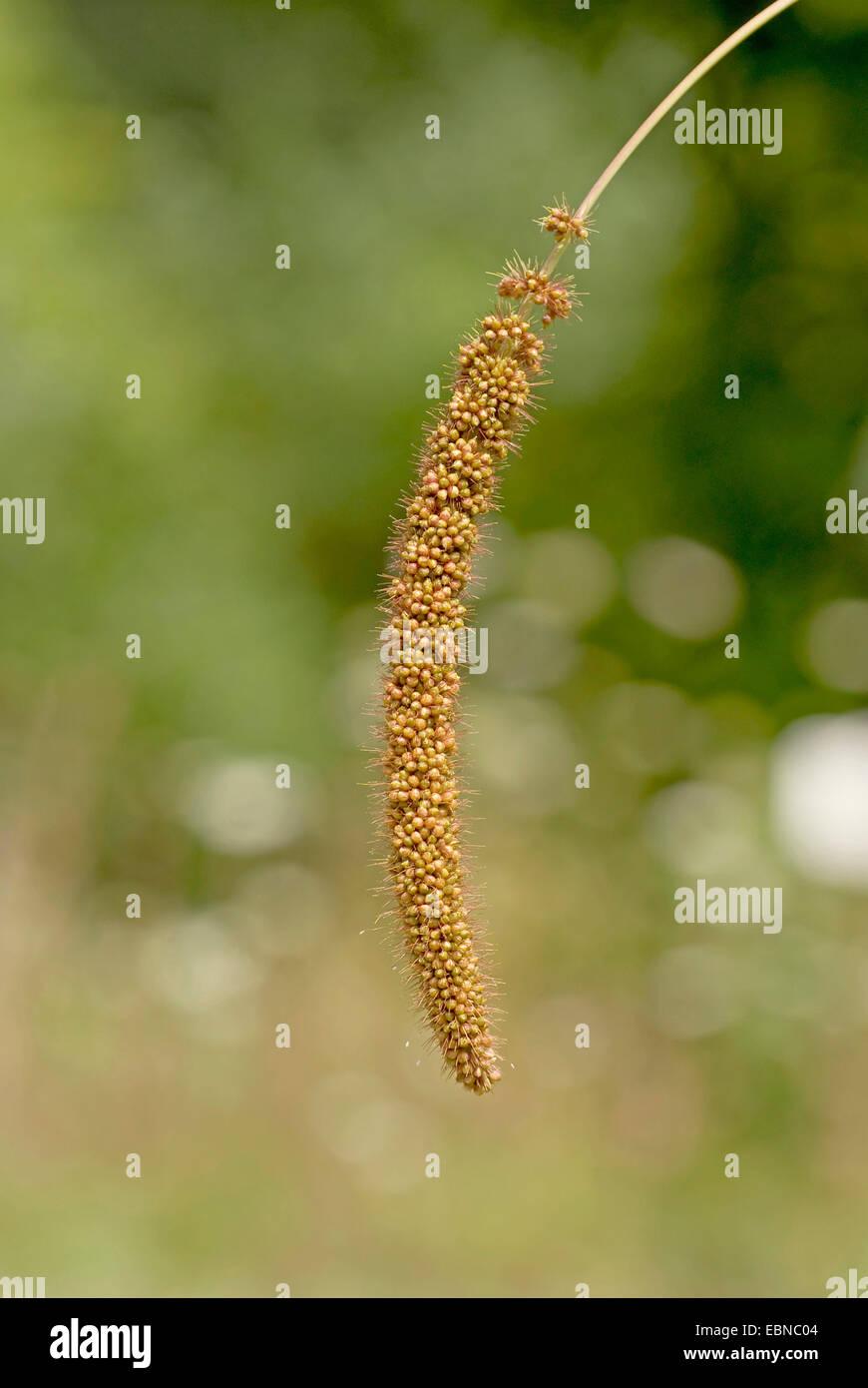 Le millet, millet Italien, Allemand, Chinois, MIL MIL MIL Hongrois (Setaria italica), panicule Photo Stock
