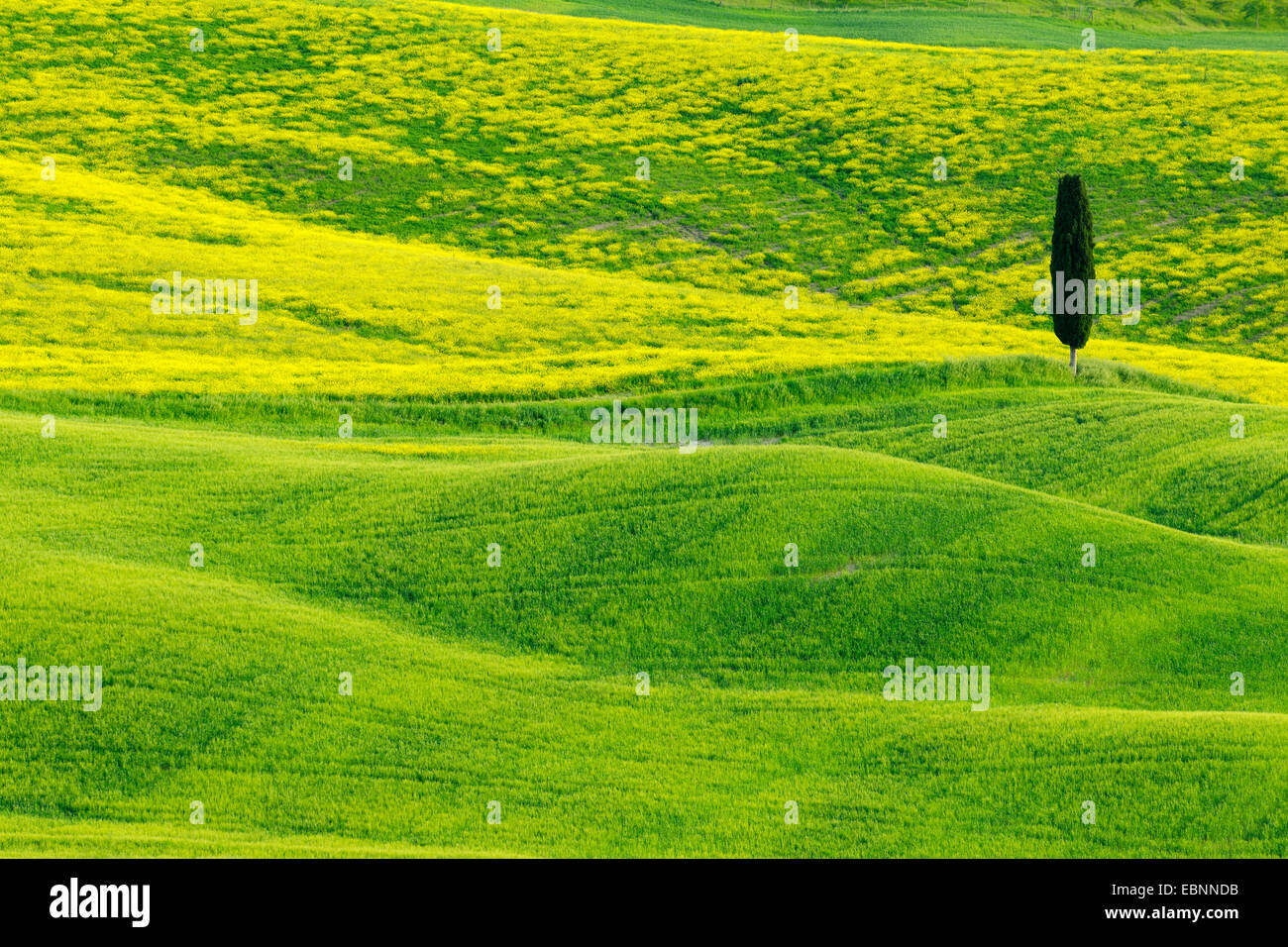 Cyprès (Cupressus sempervirens), vert et vallonné Farmland with Cypress, Val d' Orcia, San Quirico Photo Stock