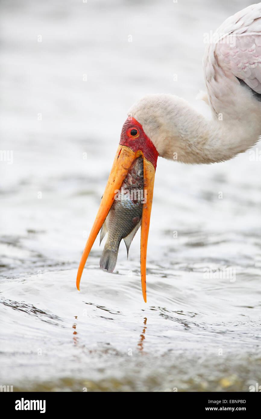 Yellow-billed stork (Mycteria ibis), debout dans l'eau peu profonde et de manger un poisson, Afrique du Sud, Photo Stock