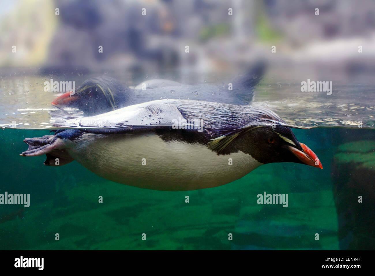 Rockhopper Penguin (Eudyptes chrysocome), natation pingouins derrière une façade de verre Photo Stock