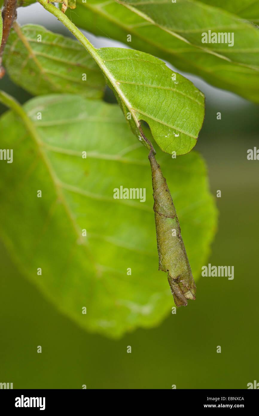 Leaf-roulement (charançons) rooled Attelabinae, feuille par le coléoptère, Allemagne Photo Stock