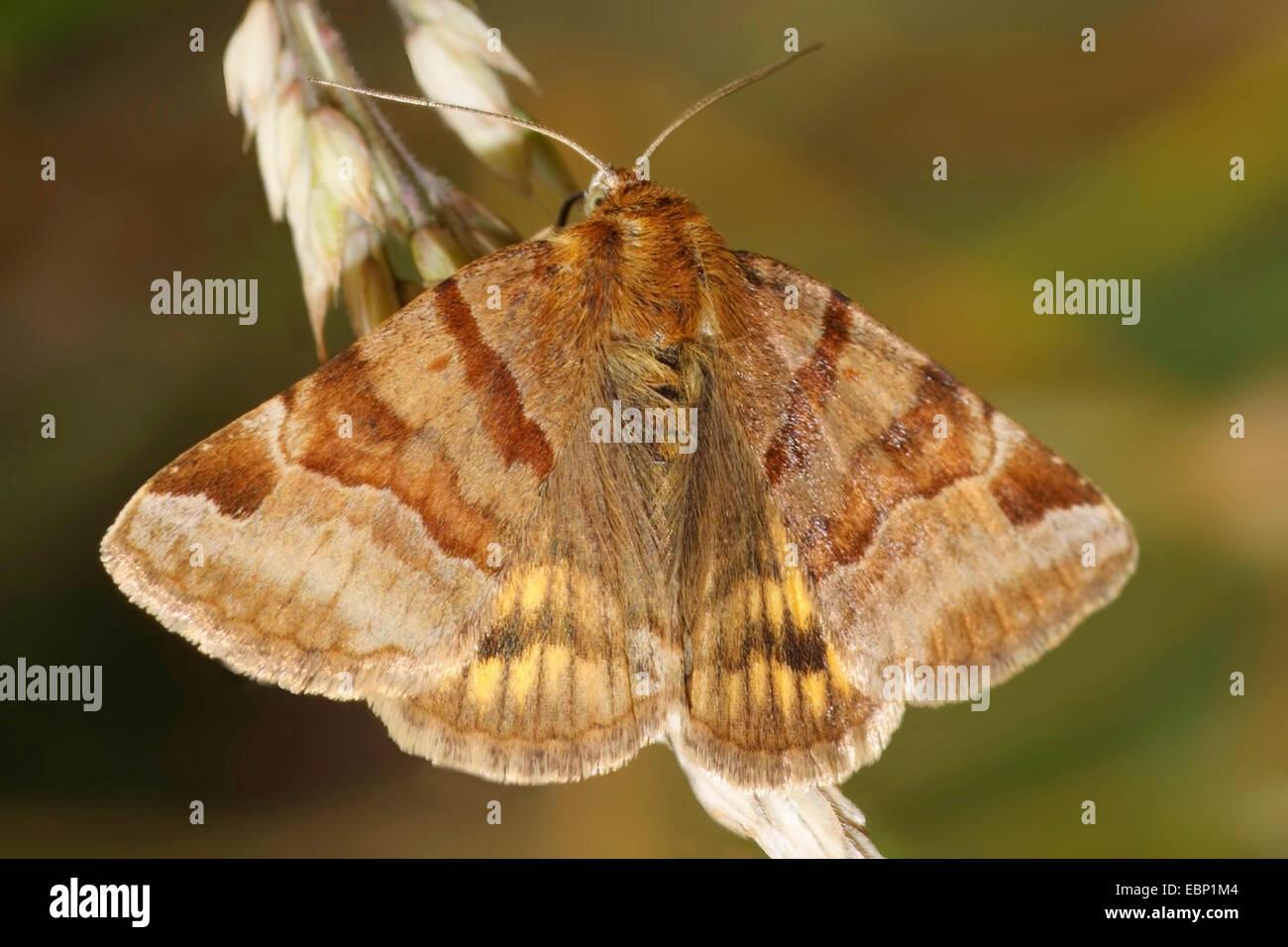 Burnet Companion (Ectypa, glyphica Euclidia glyphica), sur une inflorescence en herbe, Allemagne Photo Stock
