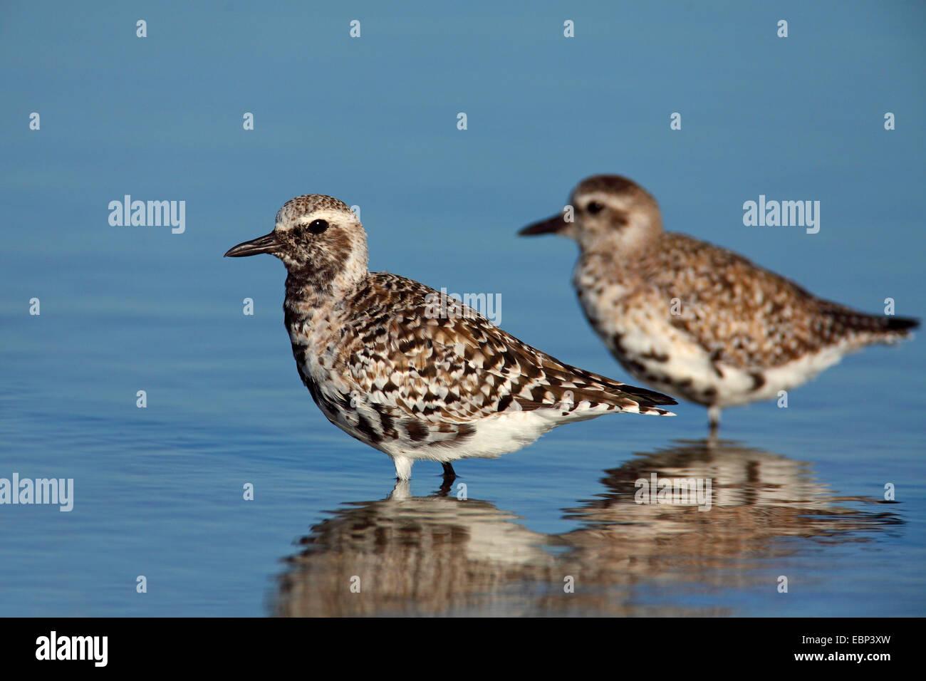 Grey plover (Pluvialis squatarola), des oiseaux en plumage d'hiver et en transition à plumage nuptial, Photo Stock