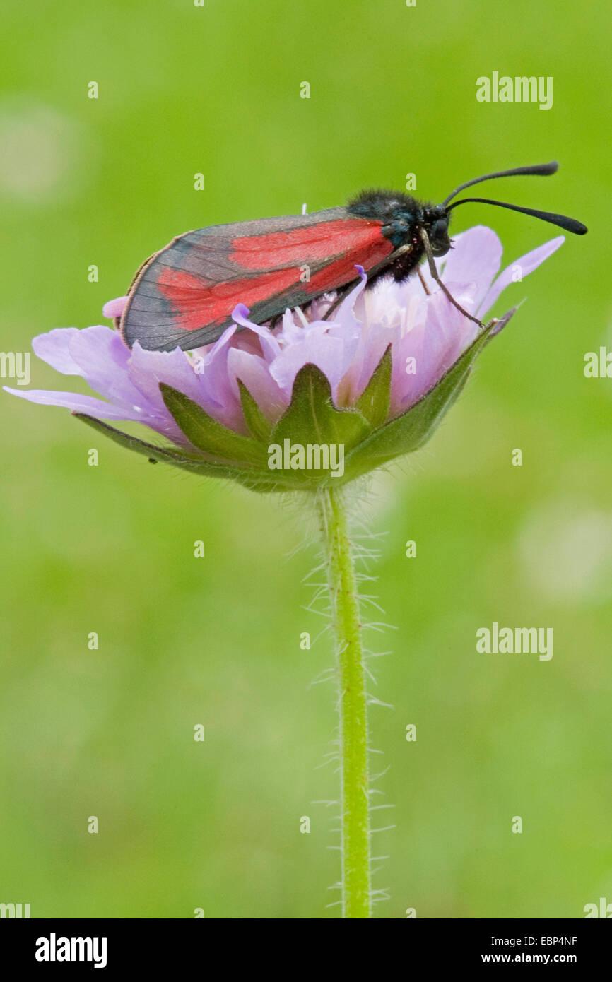 Zygaena purpuralis Burnett (transparent), sur une fleur scabious, Suisse Photo Stock