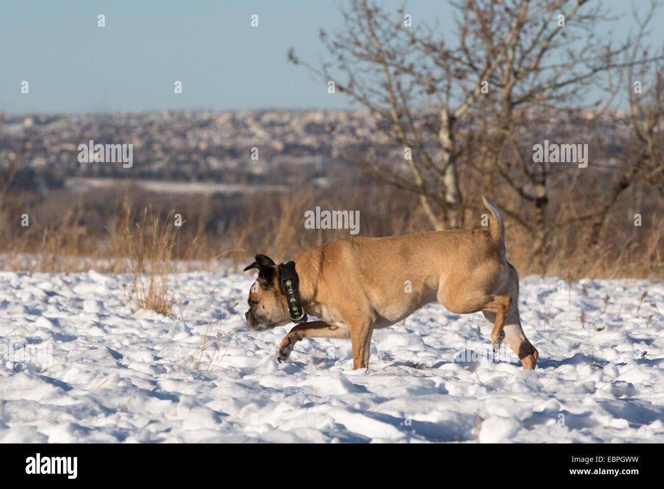 Chien de Bugg (traversez entre Boston Terrier et Pug) en courant gratuit dans le parc de la ville Banque D'Images