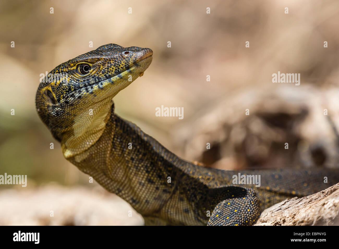 """Un adulte Mertens"""" de l'eau contrôler (Varanus mertensi) sur les rives de la rivière Ord, Kimberley, Photo Stock"""