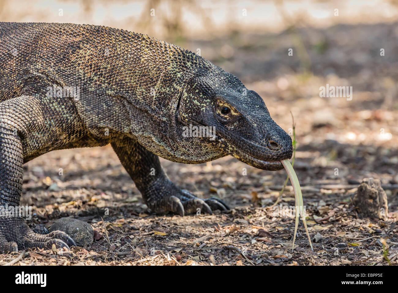 Des profils dragon de Komodo (Varanus komodoensis), dans le Parc National de Komodo, l'île de Komodo, en Photo Stock