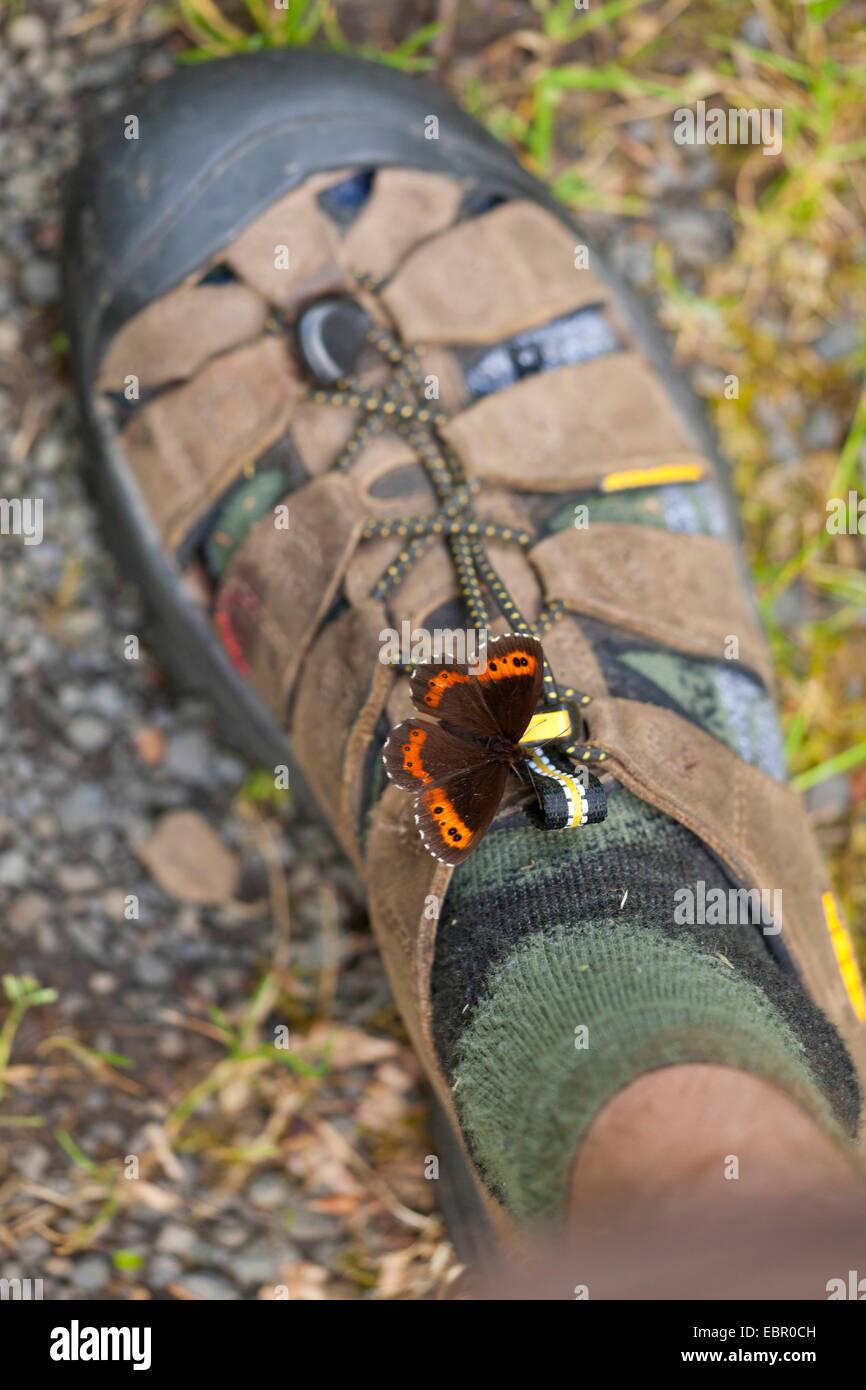 Arran brown, Erebia ligea (un papillon), assis sur une chaussure de sucer la sueur, Allemagne, Thuringe, Rhoen Photo Stock