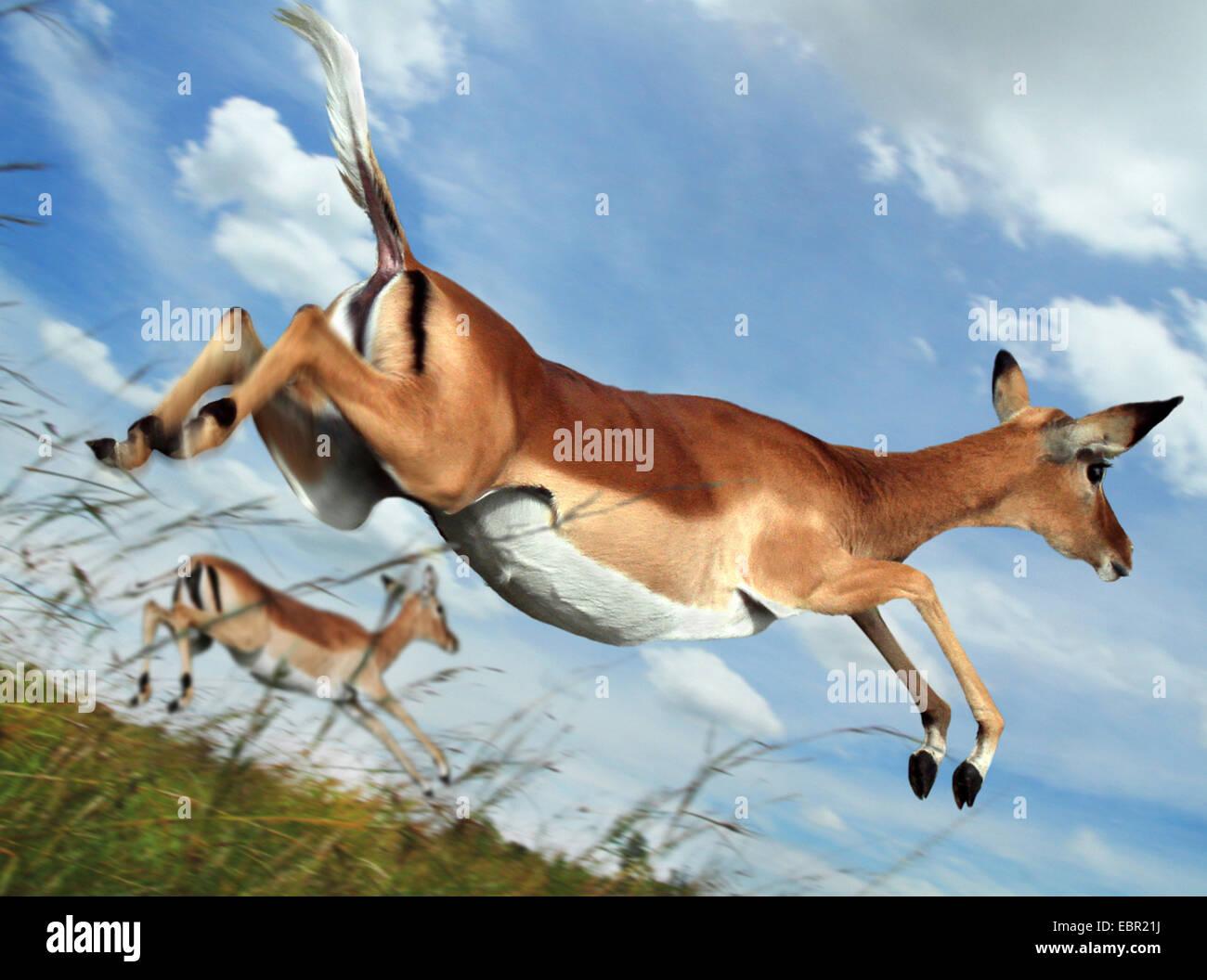 Impala (Aepyceros melampus), sauter en vol, Kenya, Masai Mara National Park Photo Stock