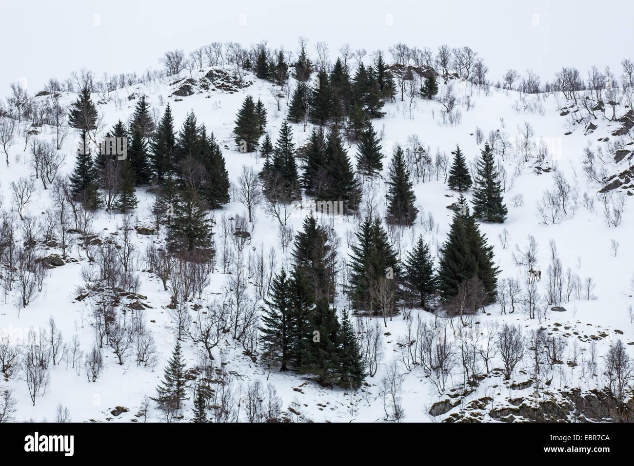 Le wapiti, l'orignal (Alces alces alces), l'hiver dans la fjell, Norvège, Nordland, Raftsund Photo Stock