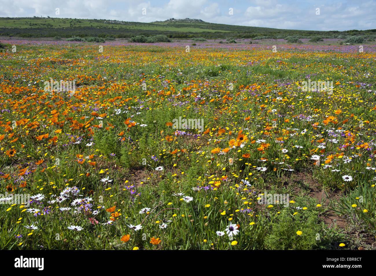 Flower meadow avec rock formation à l'horizon sur la côte atlantique dans la côte ouest Nationalpark, Photo Stock