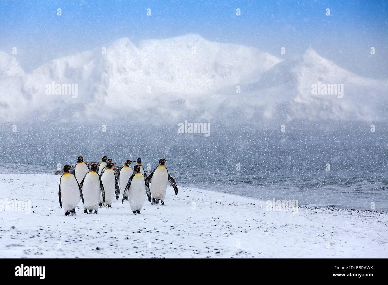 Manchot royal (Aptenodytes patagonicus), groupe de fortes chutes de neige, l'Antarctique, Suedgeorgien, Saint Andrews Bay Banque D'Images