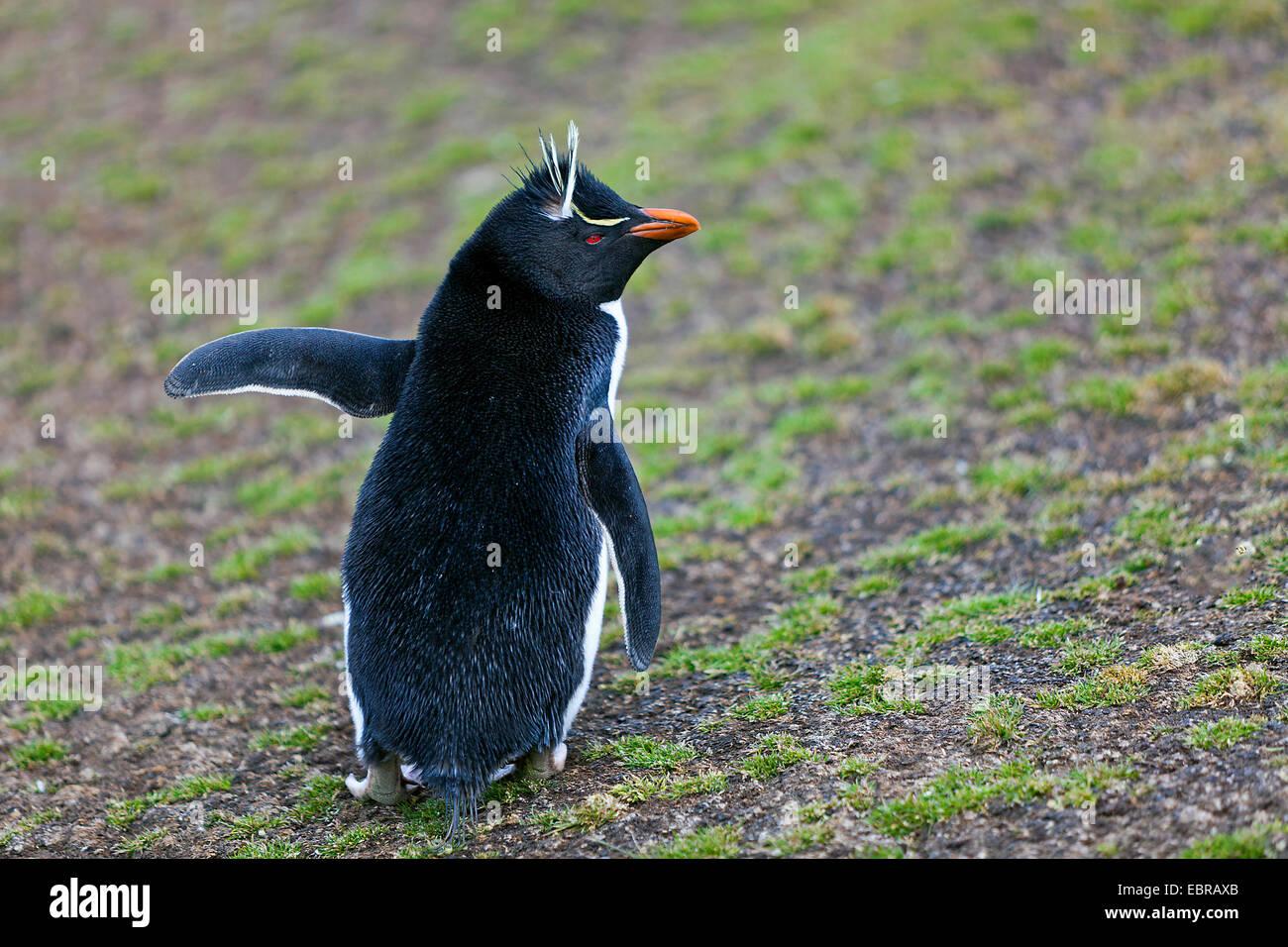 Rockhopper Penguin (Eudyptes chrysocome), dans les terrains vagues, l'Antarctique, des îles Malouines, Photo Stock