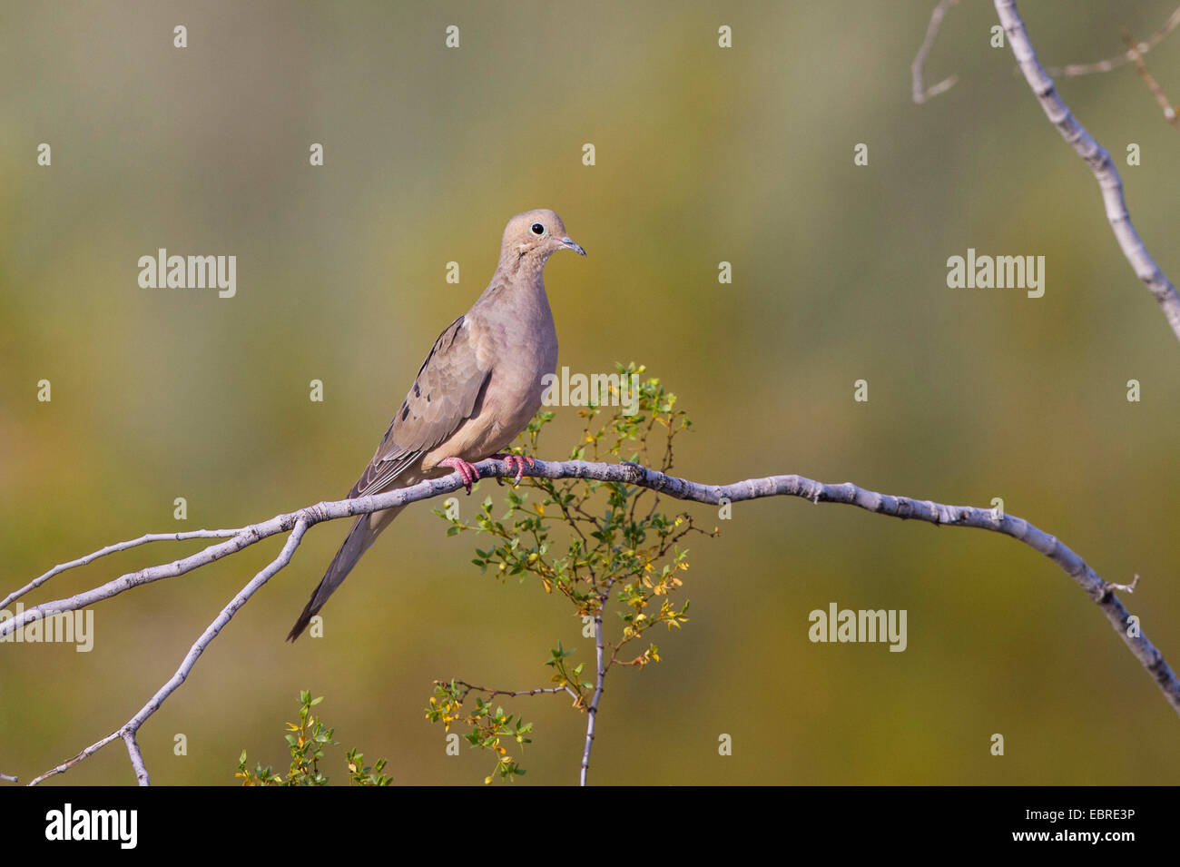 La tourterelle triste (Zenaida macroura), est assis sur une branche, Arizona, USA Photo Stock