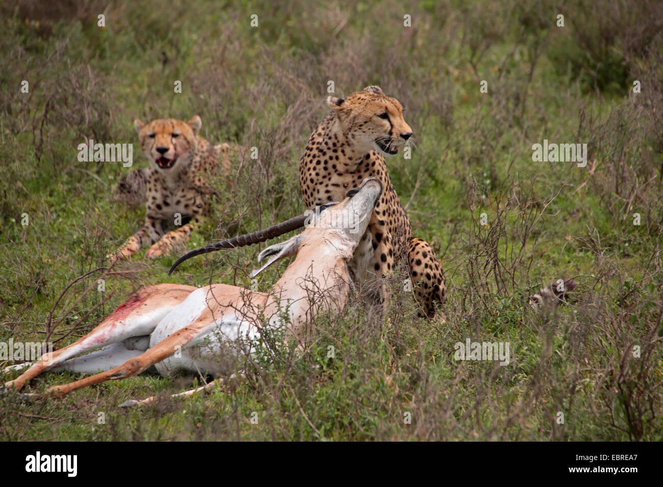 Le Guépard (Acinonyx jubatus), deux guépards avec pris la gazelle de Grant, la Tanzanie, le Parc National Photo Stock