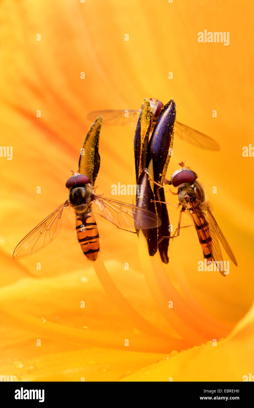 Episyrphus balteatus hoverfly (marmelade), deux hoverflies dans un lis fleur, Allemagne Photo Stock