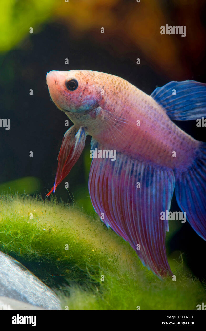 Combats siamois, Siamois poisson Betta Splendens (combattant), race Mirabelle Longtail Photo Stock