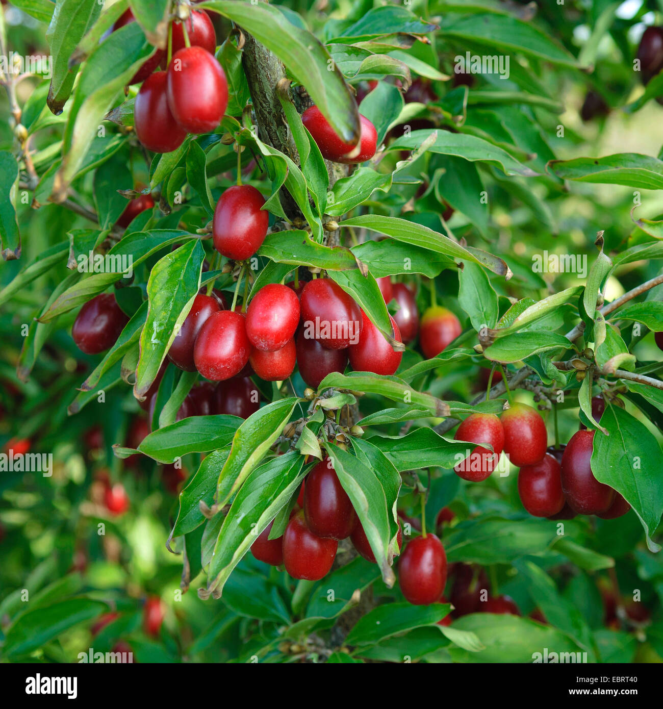 Bois de cerisier en cornaline (Cornus mas 'Jolico Jolico', Cornus mas), le cultivar Jolico Photo Stock