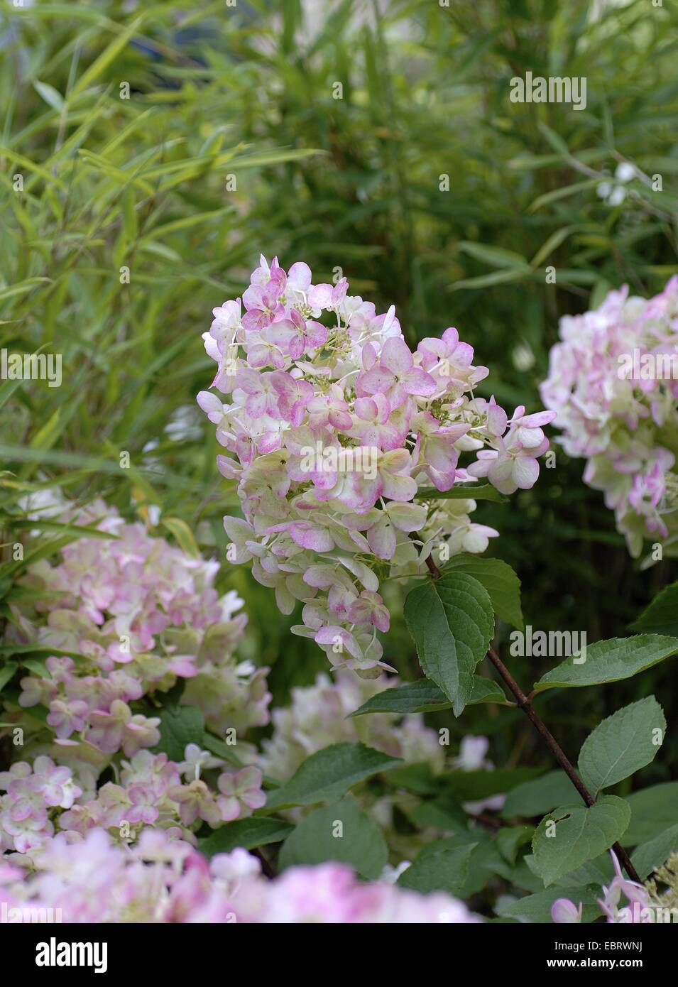 Panicule hortensia (Hydrangea paniculata 'unique', Hydrangea paniculata Unique), le cultivar, la floraison Photo Stock