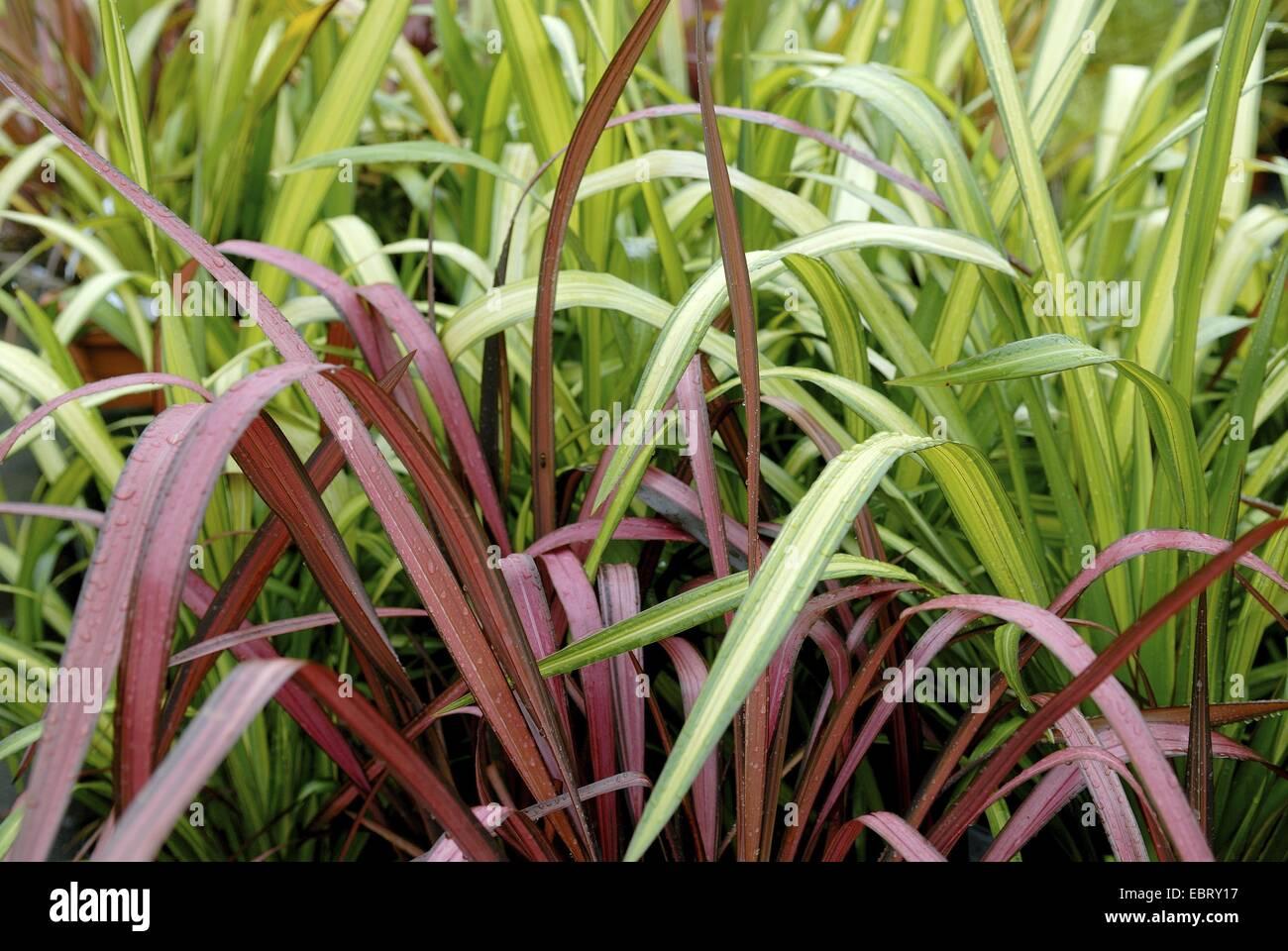Le lin de Nouvelle-Zélande (Phormium 'Yellow Wave', le Phormium Yellow Wave), le cultivar vague jaune Photo Stock