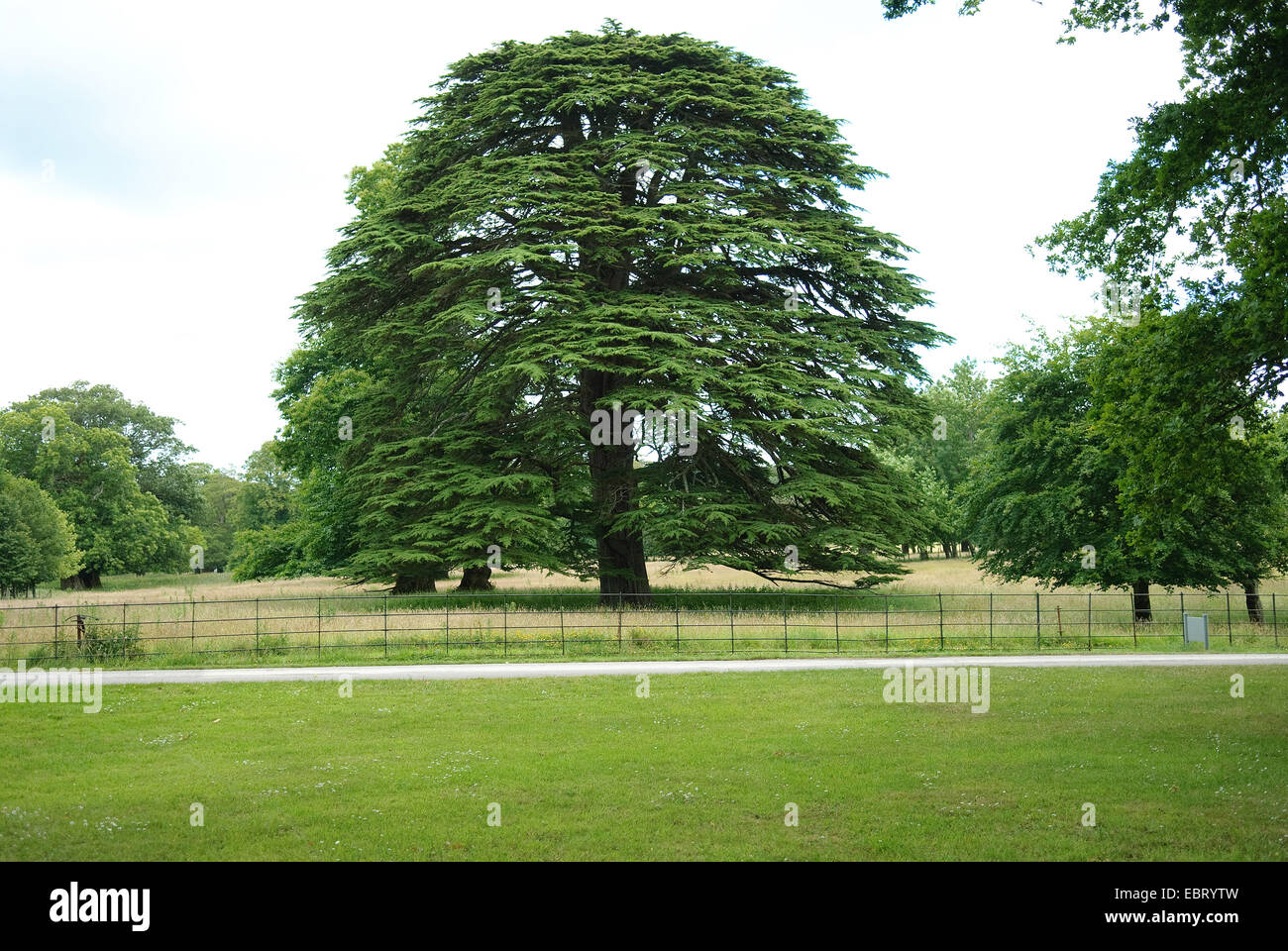 Cèdre du Liban (Cedrus libani), seul arbre Photo Stock