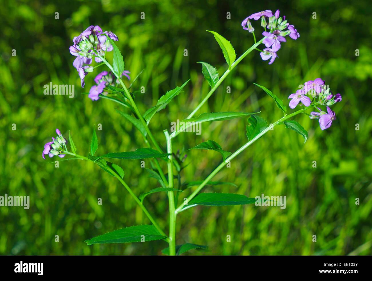 La dame-fusée, dame de la violette, roquette, Dame's rocket (Hesperis matronalis), blooming, Allemagne, Photo Stock