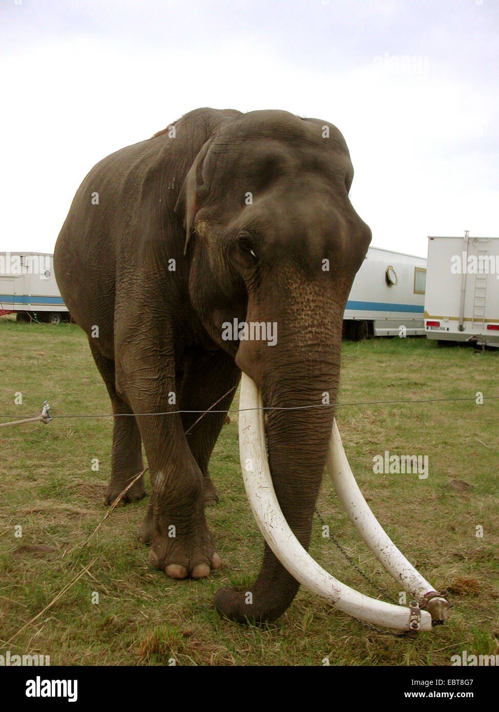L'éléphant indien (Elephas maximus indicus, Elephas maximus bengalensis), animal de cirque : Photo Stock