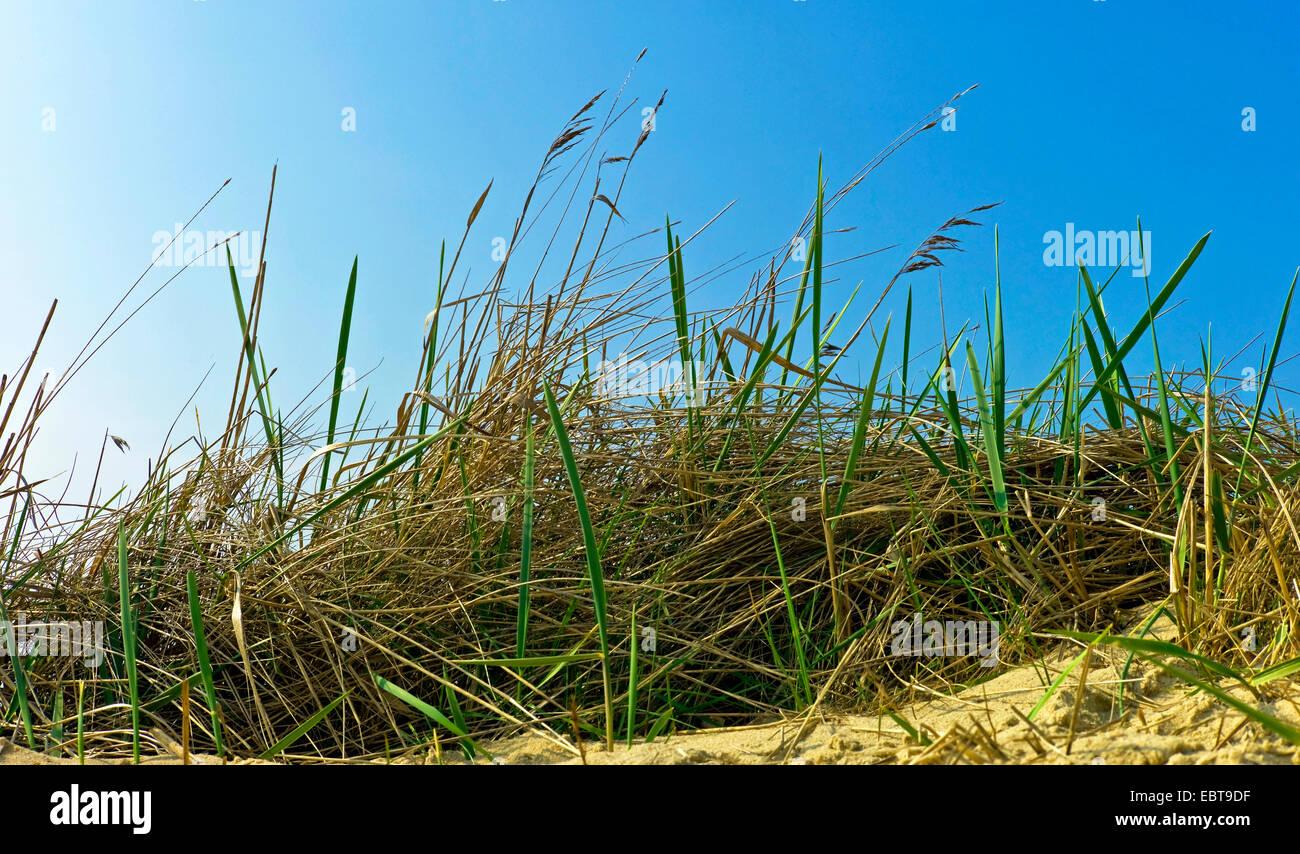Le calamagrostis, roseau commun (Phragmites communis, Phragmites australis), sur les dunes, l'ALLEMAGNE, Basse-Saxe, Langeoog Banque D'Images