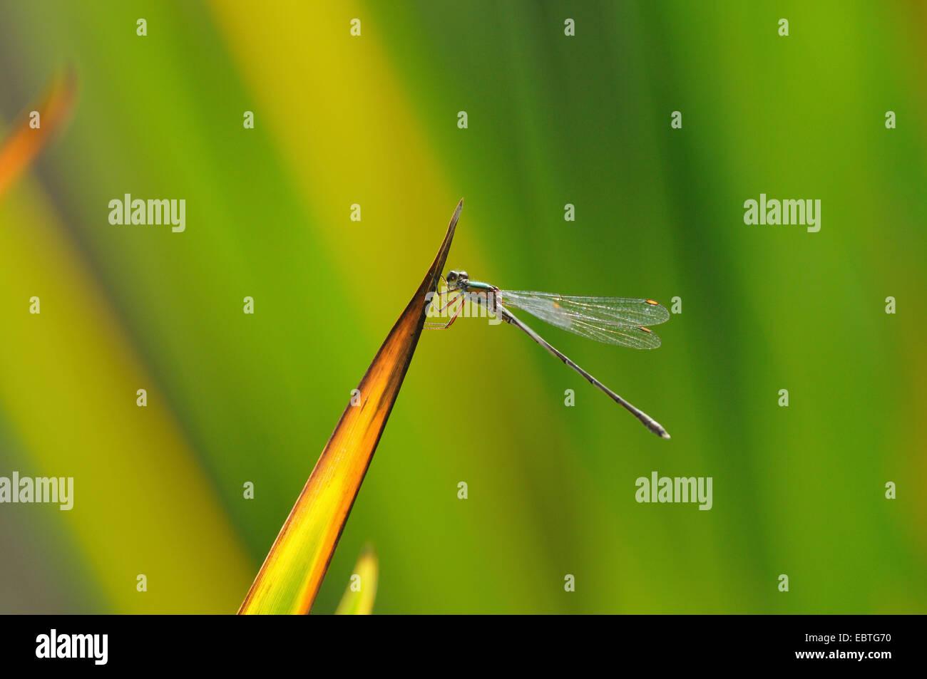 Mererald willow (demoiselle Lestes viridis, Chalcolestes viridis), assis à un point de la feuille, en Allemagne, en Rhénanie du Nord-Westphalie Banque D'Images
