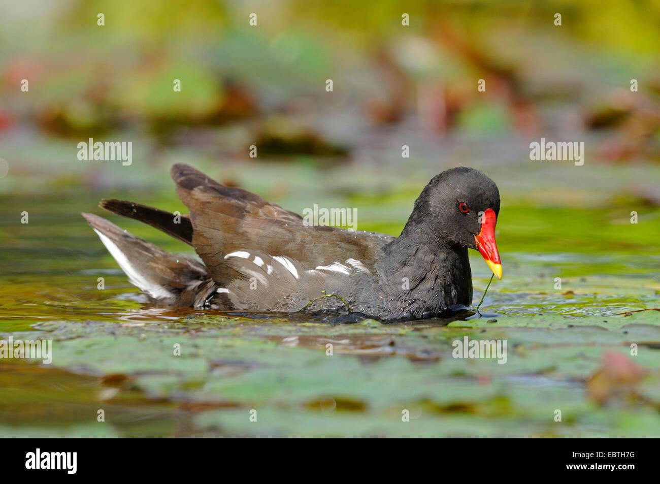 Gallinule poule-d'eau (Gallinula chloropus), sur l'alimentation, de l'Allemagne, Rhénanie du Nord-Westphalie Banque D'Images
