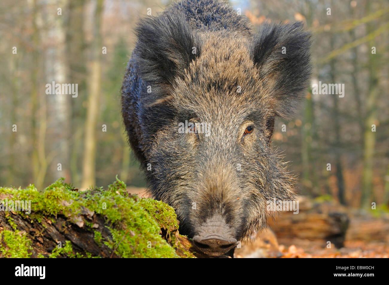 Le sanglier, le porc, le sanglier (Sus scrofa), wild sow sur l'alimentation, de l'Allemagne, en Rhénanie du Nord-Westphalie, Rhénanie-Palatinat Banque D'Images