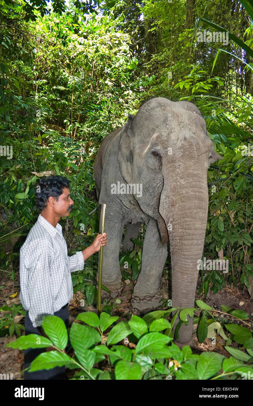 L'éléphant indien (Elephas maximus indicus, Elephas maximus bengalensis), travaillant avec l'éléphant Photo Stock