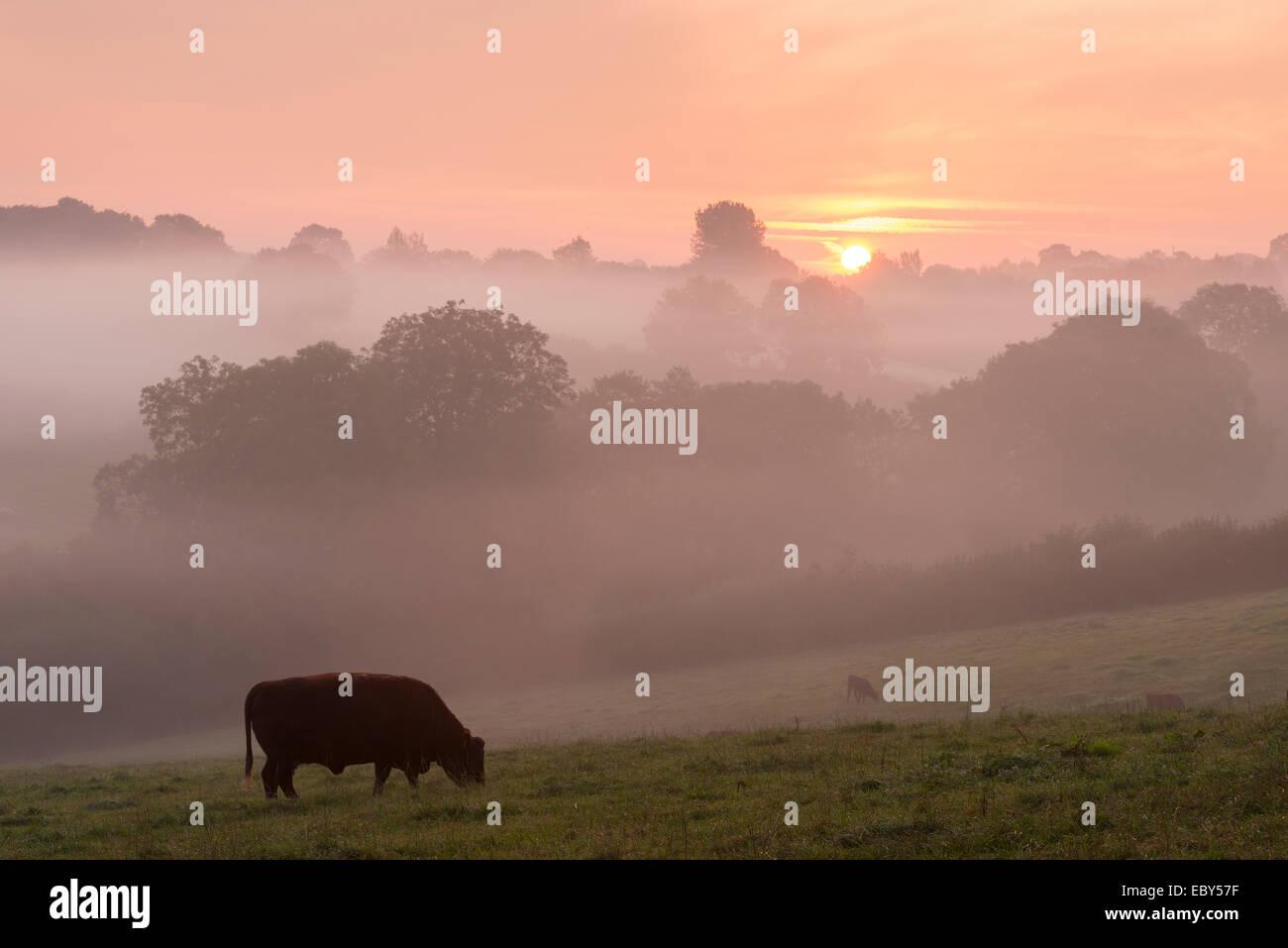 Rouge rubis le pâturage du bétail dans la campagne du Devon à l'aube d'un matin brumeux, Photo Stock