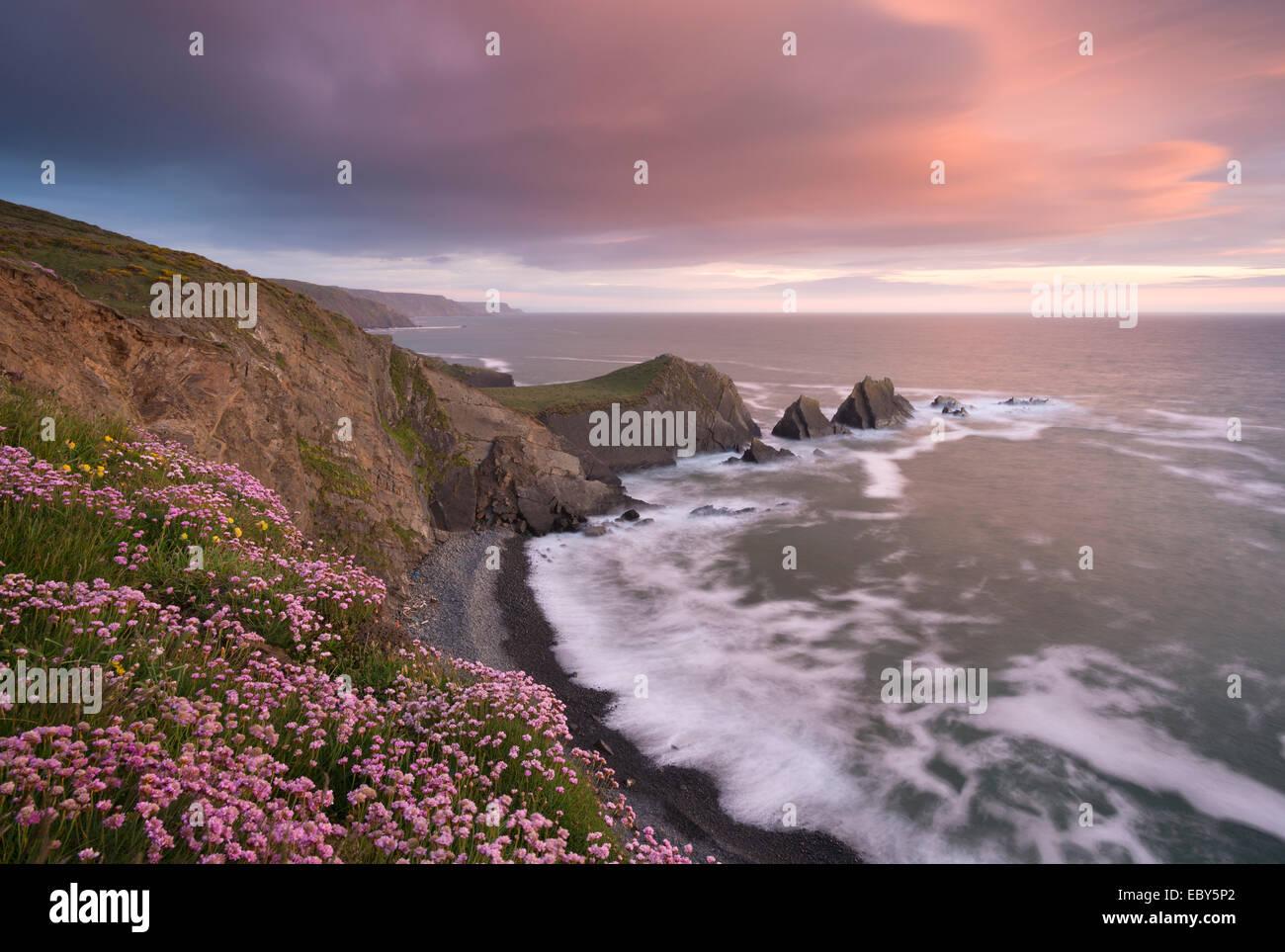 La floraison des fleurs sauvages roses mer sur la clifftops à Hartland Quay, regard vers Screda Point, Devon, Photo Stock