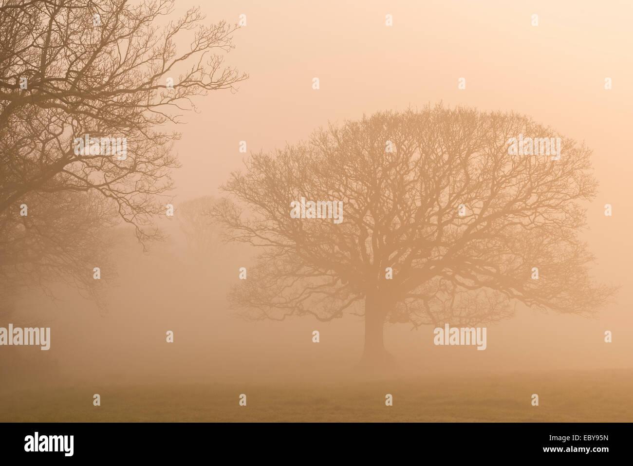 Arbres en hiver brouillard au lever du soleil, Black Dog, Devon, Angleterre. L'hiver (mars) 2014. Photo Stock