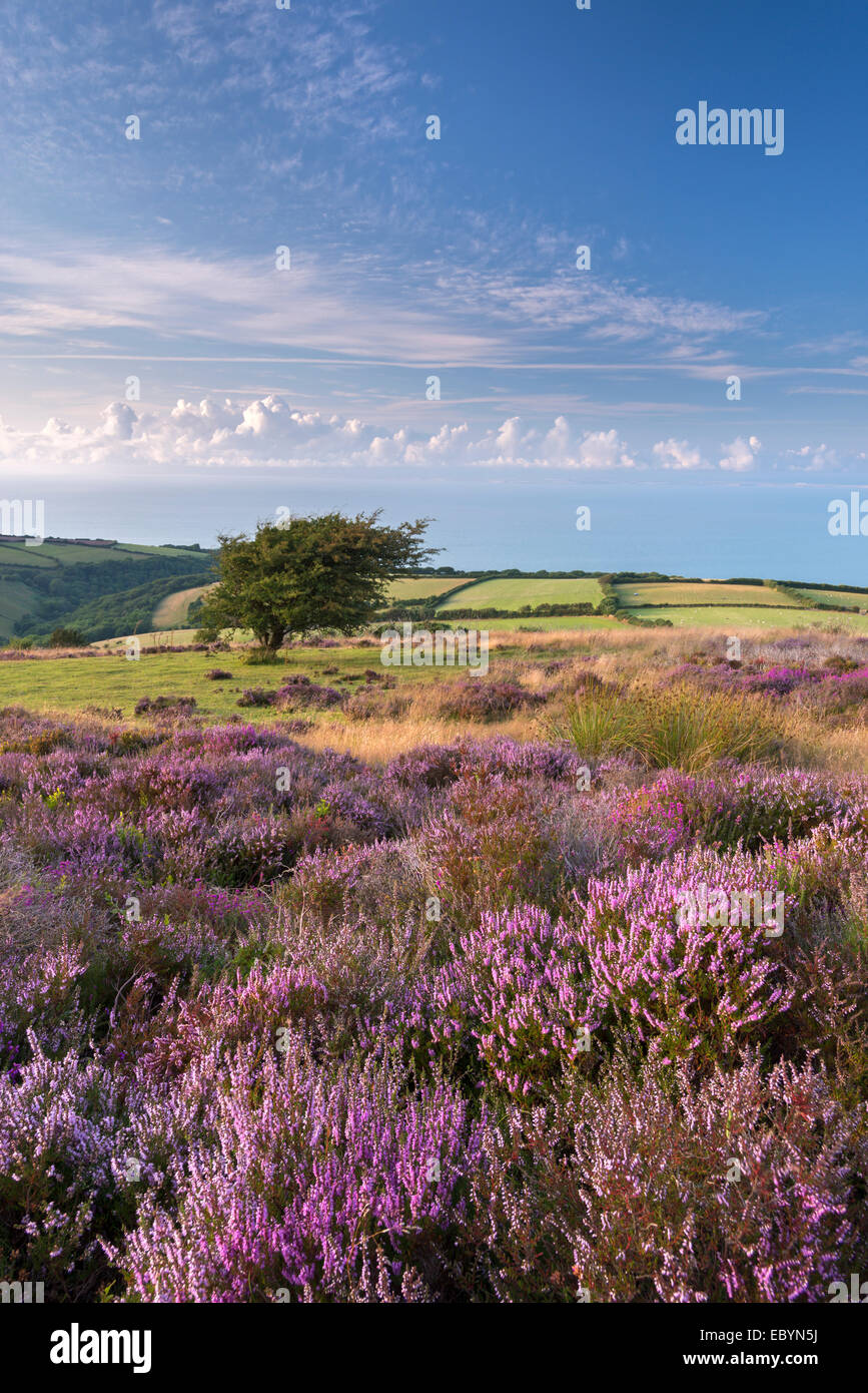 Heather en fleur sur Porlock, Commune du Parc National d'Exmoor, Somerset, Angleterre. L'été (août) Photo Stock