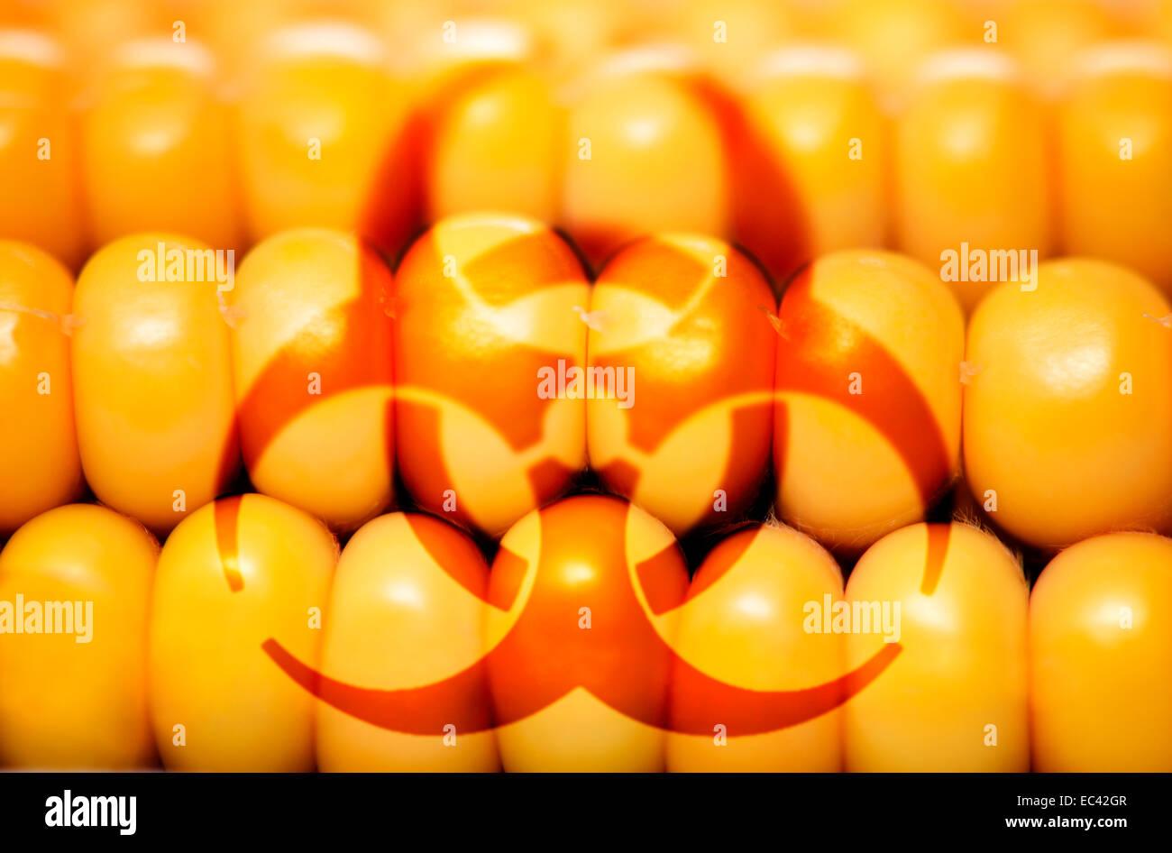 Le maïs et danger biologique, du maïs génétiquement modifié Photo Stock